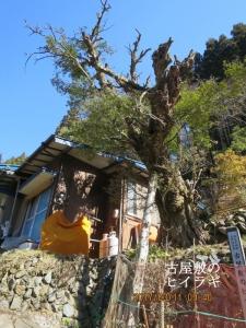 古屋敷のヒイラギの木