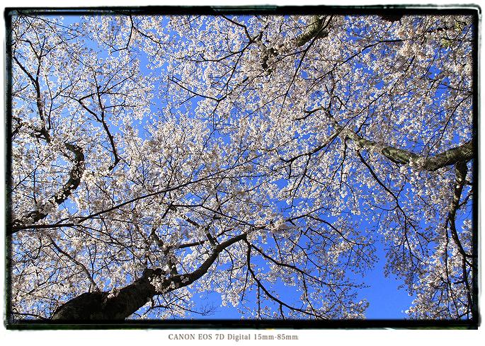 廃校の桜201003sakura01.jpg