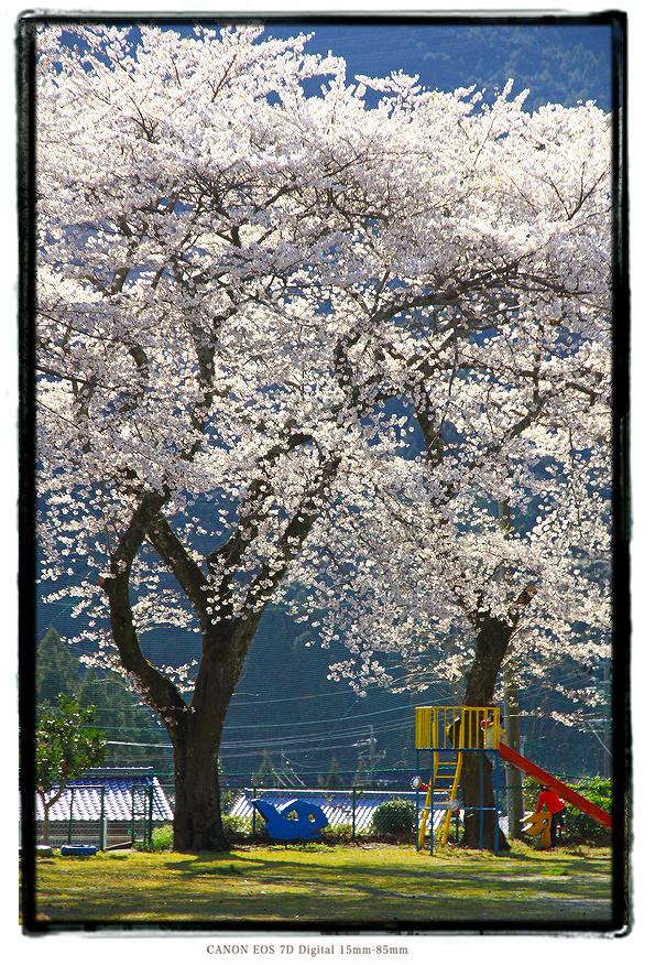 廃校の桜201003sakura02.jpg