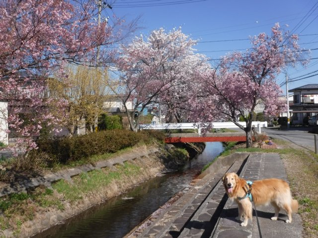 千本桜 2017.4.24 004