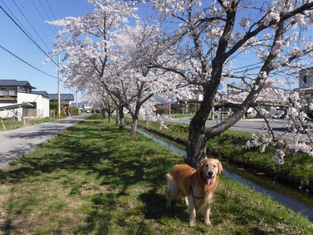 千本桜 2017.4.24 005