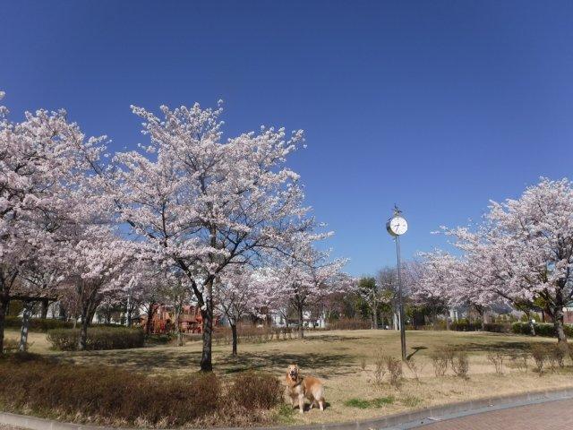 千本桜 2017.4.24 009