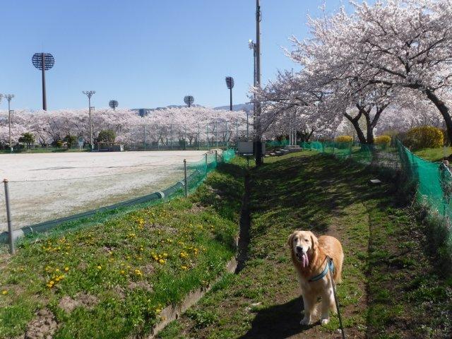 千本桜 2017.4.24 014