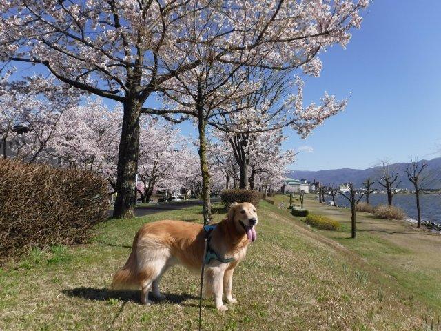 千本桜 2017.4.24 023