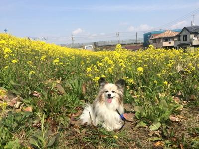 2017菜の花3