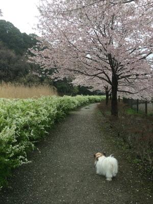 2017桜2