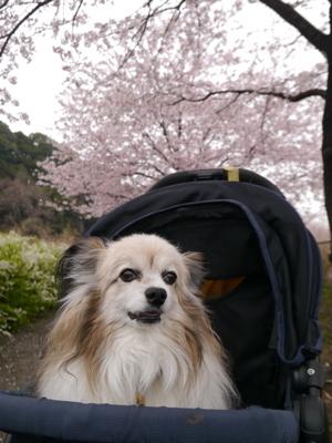 2017桜6
