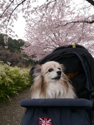 2017桜9