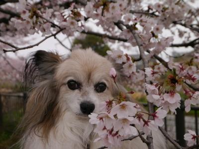 2017桜13