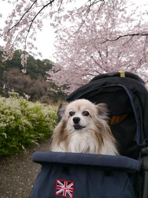 2017桜7