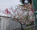 kimerasakura1.jpg