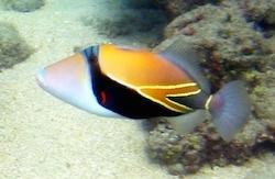 Reef_Triggerfish_1.jpg