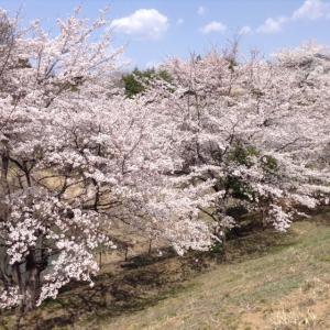 桜20172