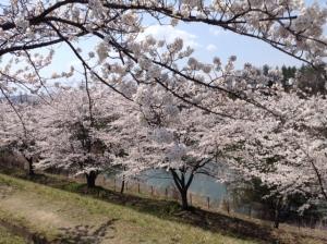 桜20173