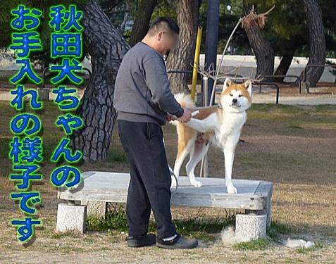 秋田犬ちゃん