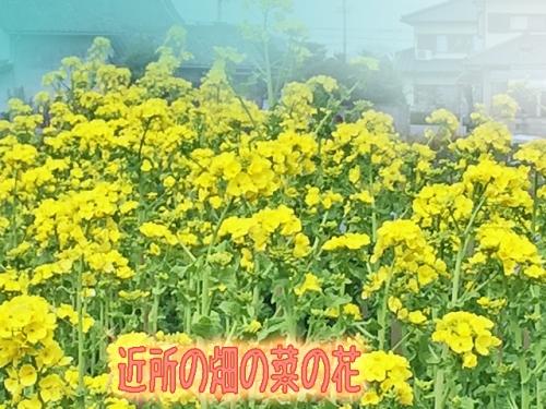 菜の花が3