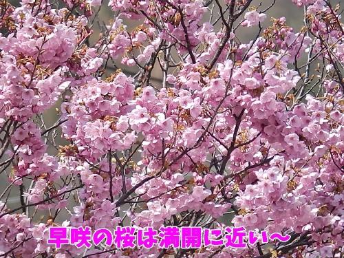 早咲の桜は満開