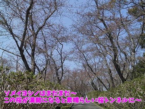 桜の花のトンネルに