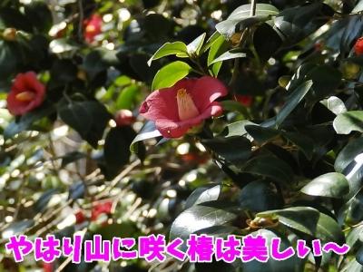 山に咲く椿は