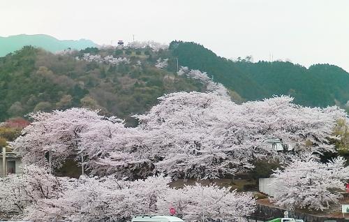 遠くから眺めた桜