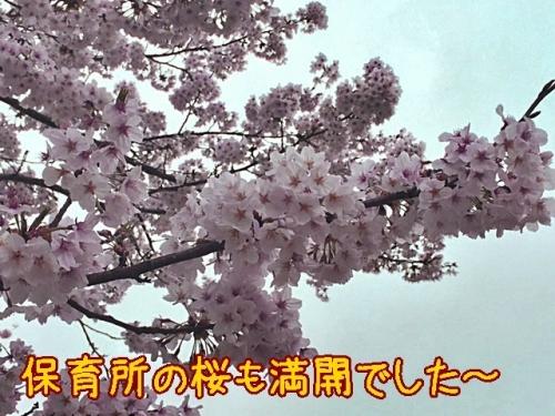 保育所の桜も