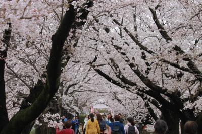 桜トンネル_convert_20170407161346