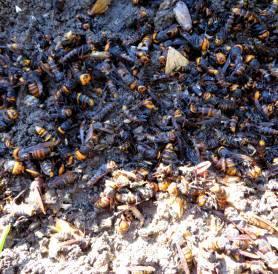 2013_10 17_スズメバチの巣・6