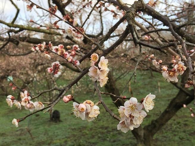 ピンク色の花が咲く、鶯宿梅。