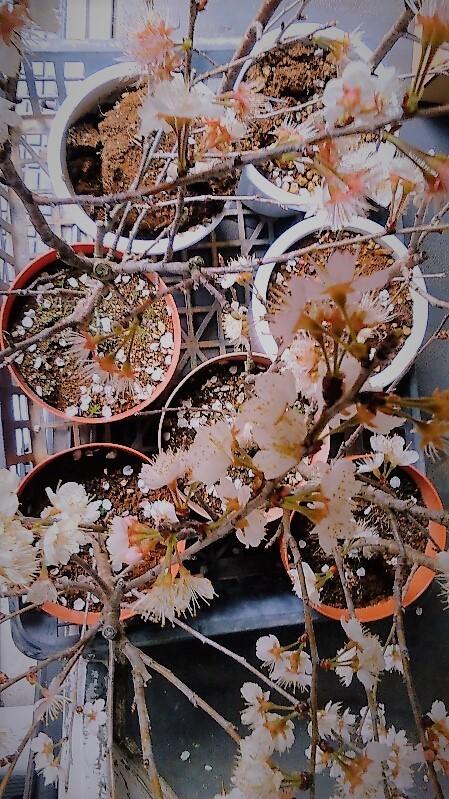 0325桜