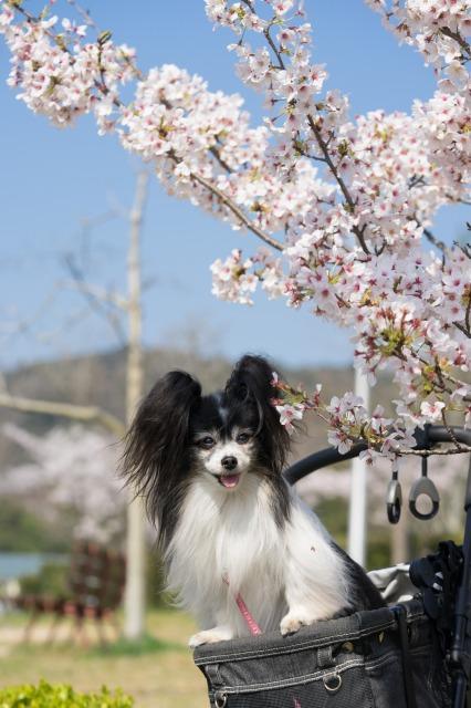 近所の公園でお花見♪-002