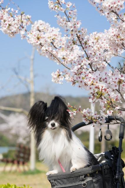 近所の公園でお花見♪-003
