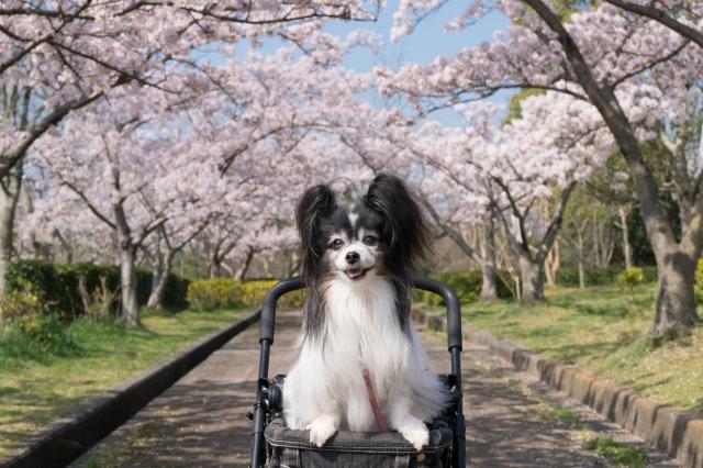 近所の公園でお花見♪-004
