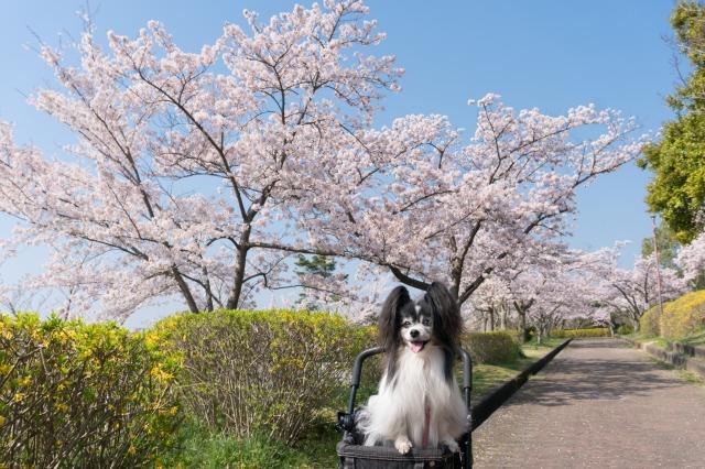 近所の公園でお花見♪-005