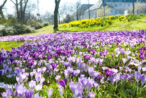 Crocus in Ddorf