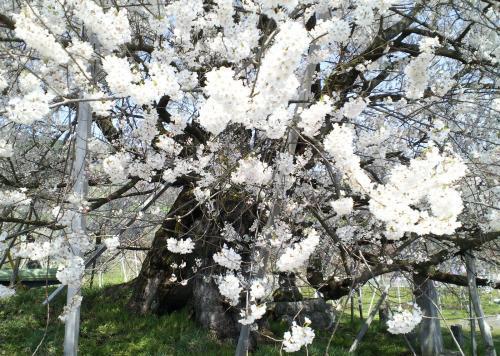 昨年12日の千歳桜(29.4.12)