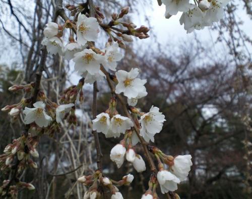 大日庵のしだれ桜白い花びら(29.4.15)
