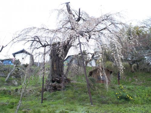 大日庵のしだれ桜1分咲き(29.4.15)
