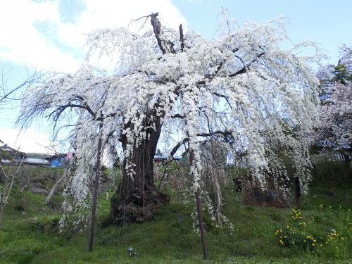 大日庵のしだれ桜(樹齢約350年)(29.4.18)