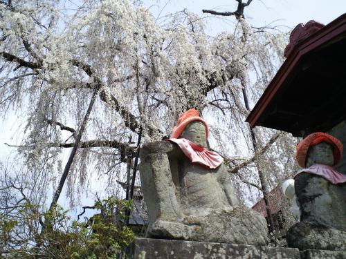 隆谷寺のしだれ桜(樹齢約400年)(29.4.20)