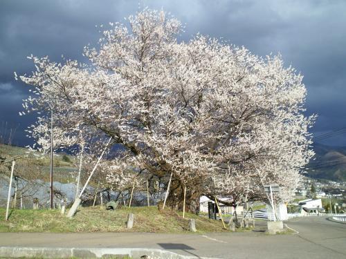 宇木のエドヒガン千歳桜(樹齢約900年)(29.4.19)