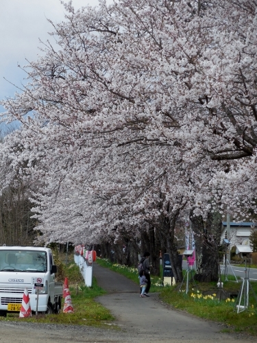 Corridor of National highway No. 397 cherry tree reaches celebration 🌸 full bloom in full bloom!
