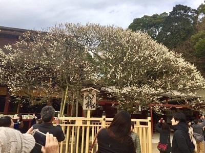 でかい梅の木