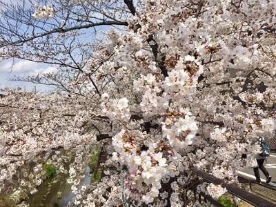 満開近しの桜