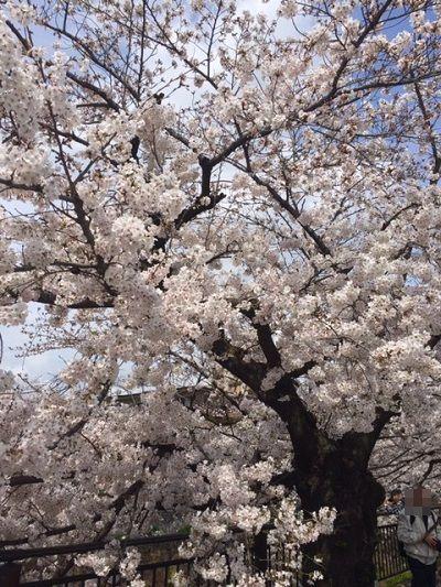 2017年桜