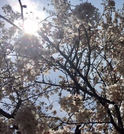 いい天気2017年桜