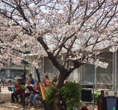 桜の下演奏する皆さん