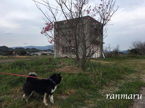 まるちゃん2017041206