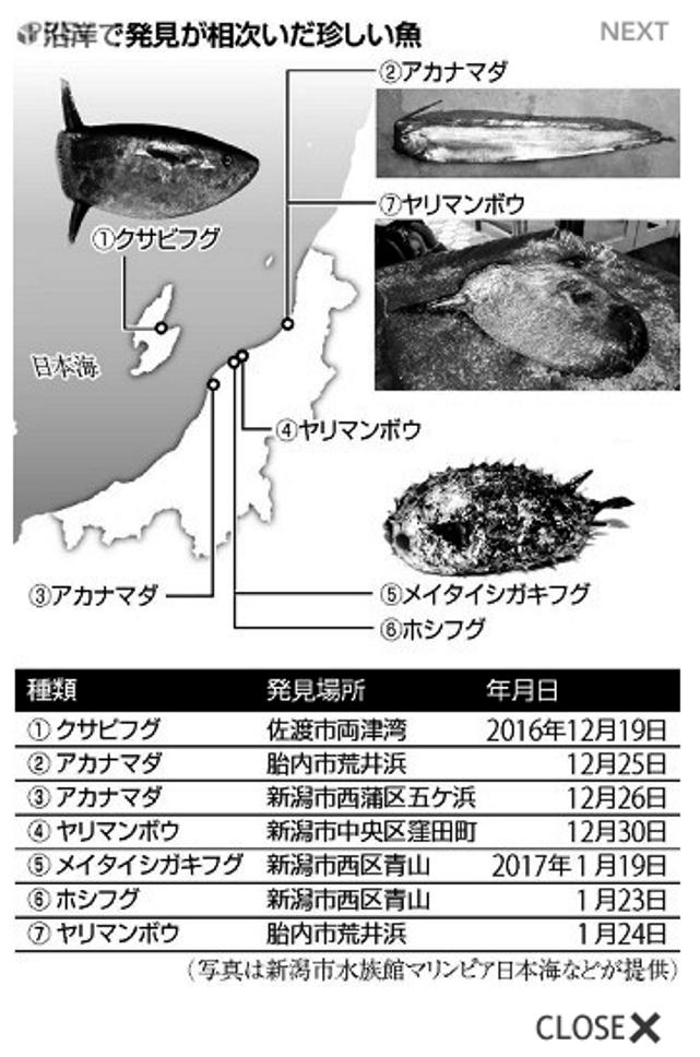 新潟沿岸で発見された珍しい魚