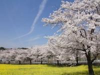 太陽が丘(北陸大学)の桜並木