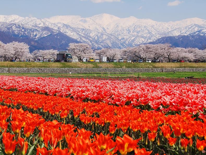 美しい残雪の山並みと桜並木とチューリップ畑(富山県朝日町舟川べり)